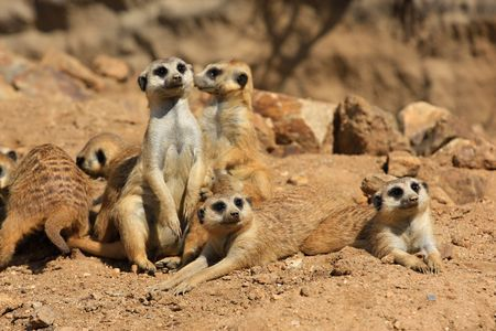 suricatta: Suricate or meerkat (Suricata suricatta) family, ZOO Jihlava, Czech Republic Stock Photo