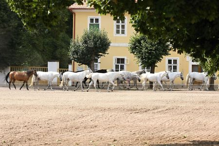 The Kladruber is the oldest Czech horse breed. The main breeding centre is in National stud farm Kladruby nad Labem in Czech republic, being now one of the world's oldest horse breeds.