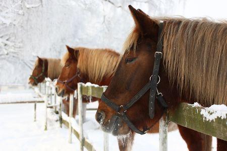 carreras de caballos: Tres cabezas de caballo en el paisaje de invierno cubierto de nieve