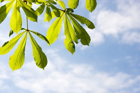 Detail of chestnut leaf agaist blue sky Stock Photo - 7041538