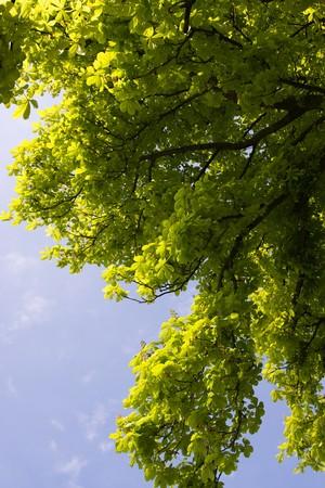Detail of chestnut leaf agaist blue sky Stock Photo - 7041545