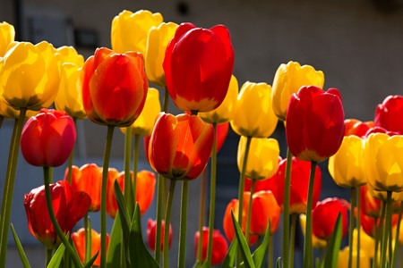 Beautiful spring flowers - colorful spring tulips photo