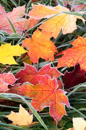 Frosty autumn leaves photo