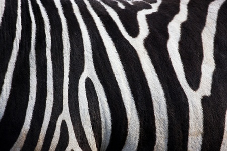 Zebra pattern  photo