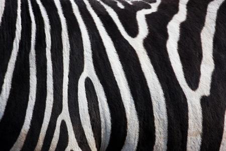 Zebra pattern  photo