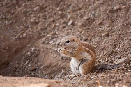 cape ground squirrel: Squirrel Cape