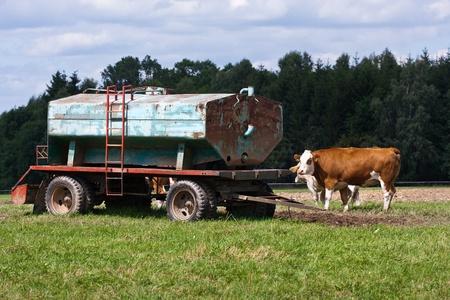 dep�sito agua: Las vacas lecheras y tanque de agua