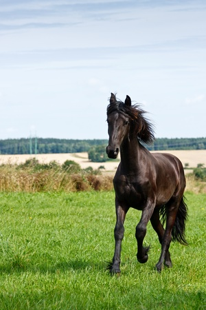 Friesian horse galloping in a green field