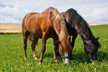graze: Horses grazing on a meadow