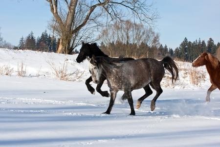 Herd of running horses in the winter photo