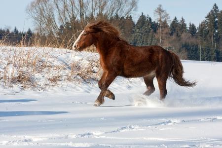 Brown horse shire run gallop in winter photo