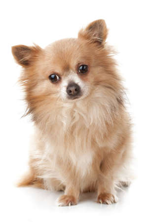 Sad chihuahua sitting in front of white background  photo