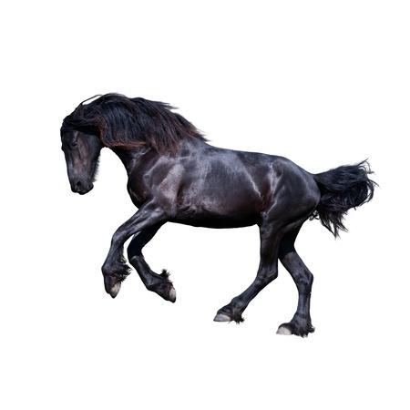 Black friesian stallion gallop isolated on white  photo