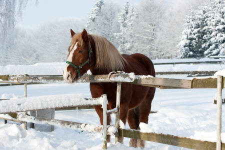 Brown horse in a cold winter pasture photo