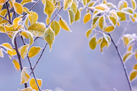 Frosty colourfull autumn leaves photo