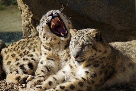 irbis: Lying family of Snow Leopard Irbis (Panthera uncia)