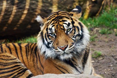 sumatran tiger: Tiger, ritratto di una tigre di Sumatra Archivio Fotografico