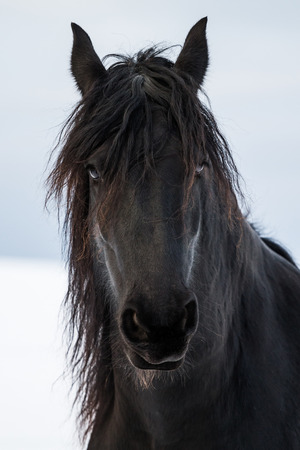 fresian: Portrait beauty friesian horse in winter