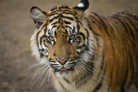 sumatran tiger: Tiger, portrait of a Sumatran Tiger