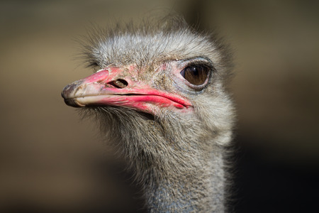 rhea: Portrait of a Greater Rhea - Rhea americana