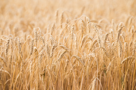 harvest: Golden ears of wheat on the field Stock Photo