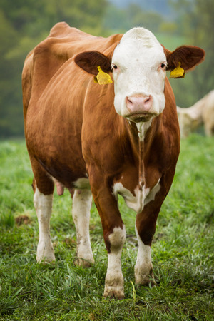 milker: Brown and white dairy cows in pasture, Czech Republic