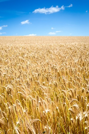 harvest: Gold wheat field and blue sky Stock Photo