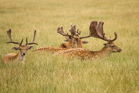 herd of deer: Herd Of Fallow Deer Stock Photo