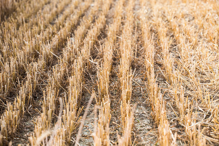 stubble: Rows of stubble harvested wheat field