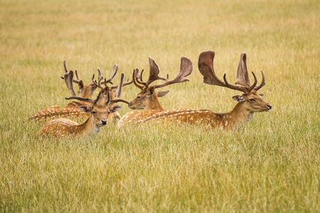 virginianus: Herd Of Fallow Deer Stock Photo