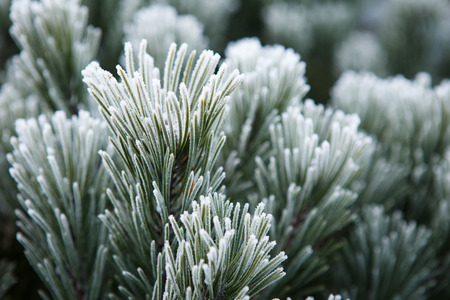 frost winter: Winter frost on pine, christmas tree close-up