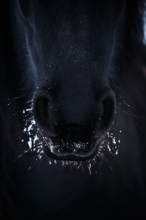 nostrils: Nostrils of friesian horse in to snow close up Stock Photo