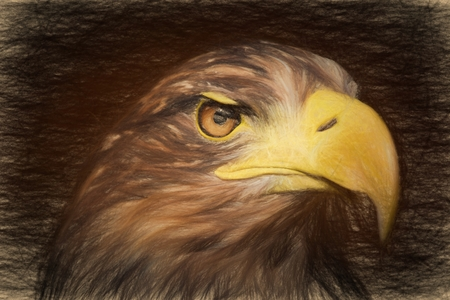 stare: Pencil sketch with the image of a sea eagle (Haliaeetus albicilla)