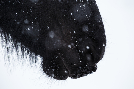 nostrils: Nostrils of friesian horse and snowflake close up