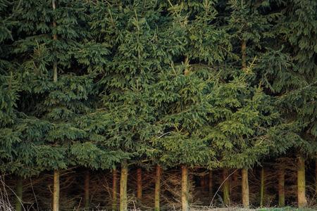 dense: Dense spruce forest with dense spruce trunk
