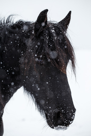 nostrils: Friesian horse and snowfall Stock Photo