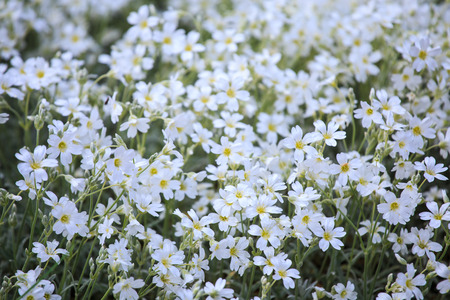cerastium tomentosum: White flowers of Cerastium tomentosum is an ornamental plant of the Caryophyllaceae family. Stock Photo