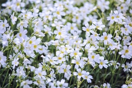 cerastium tomentosum: White flowers of Cerastium tomentosum is an ornamental plant of the Caryophyllaceae family. Stock Photo