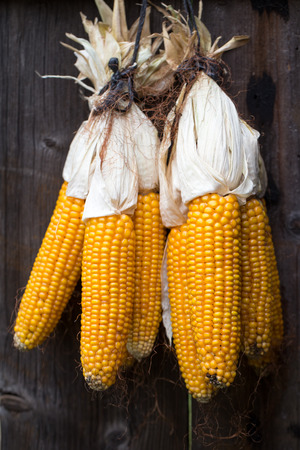 Ripe dried corn cobs hanging on wood background