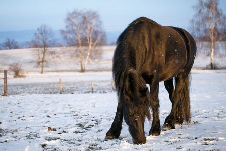 Friesian horse in winter Stock Photo