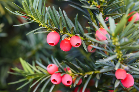 Yew tree with red fruits. Taxus baccata Stock Photo