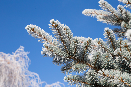 Spruce branch with frost on blue sky background. Christmas tree with hoarfrost. Stock Photo