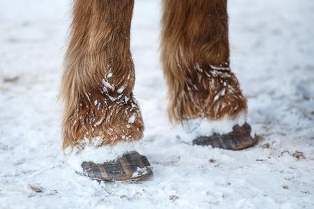 horse hoof: Horse hoof in the snow
