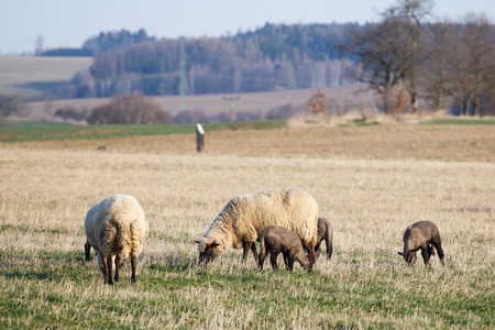 Sheep with lambs on pasture, spring time Stock Photo