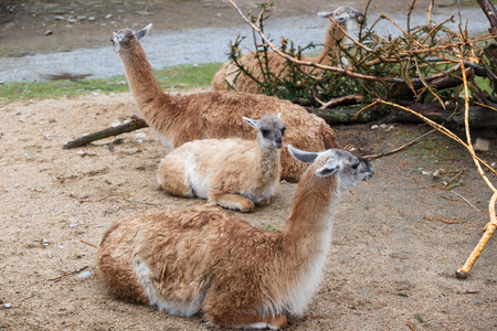 Group of animals Guanaco llama (Lama guanicoe) Stock Photo