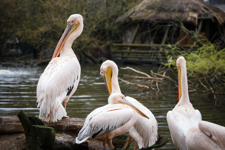 Flock of white pelicans on the lake, Pelecanus onocrotalus Stock Photo
