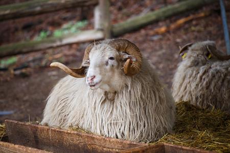 aries: Wallachian sheep (Ovis orientalis aries)
