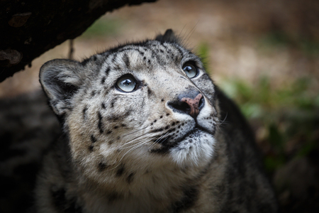 irbis: Face portrait of snow leopard - Irbis (Panthera uncia)