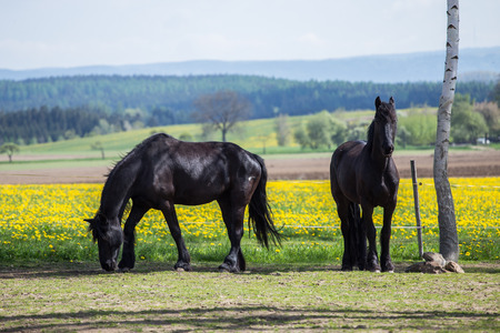 Frisian horses at spring meadow with dandelion flowers Stock Photo