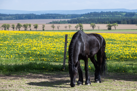 Frisian horse at spring meadow with dandelion flowers Stock Photo